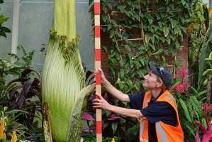 A 'Corpse' flower WOWS the crowds